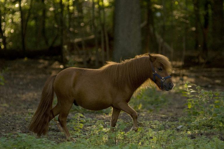 Das Pferd trabt