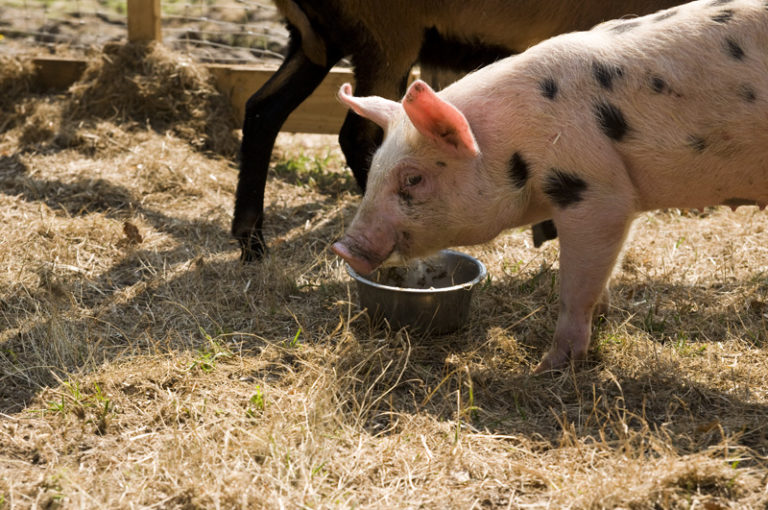 Ein Schwein isst