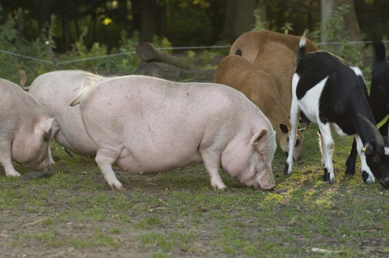 Schweine und Ziegen