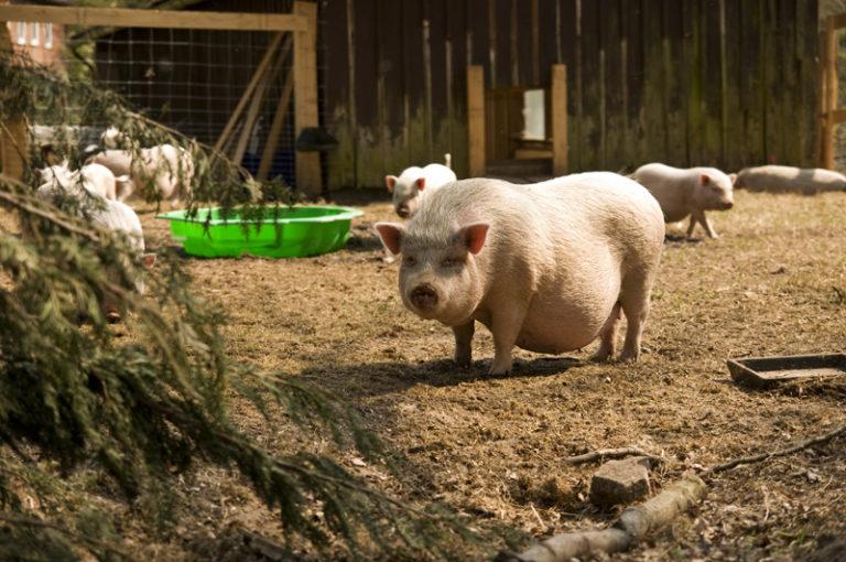 Viele Schweinchen