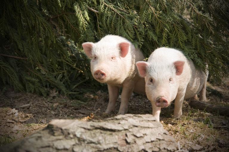 2 Schweine schauen unter der Tanne hervor