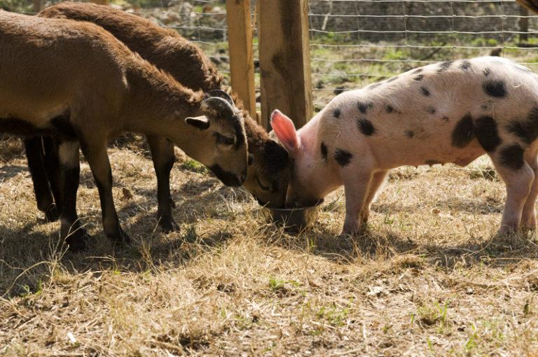 2 Ziegen und 1 Schwein essen aus den Napf
